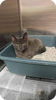Domestic Shorthair Kitten for adoption in Colonial Heights, Virginia - Annie