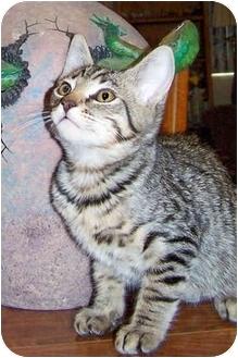 Domestic Shorthair Kitten for adoption in San Diego, California - Secretariat