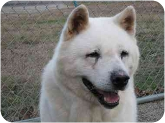 Akita Dog for adoption in East Amherst, New York - Winter