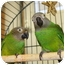 Photo 1 - Conure for adoption in Blairstown, New Jersey - Mowglie and Tahiti
