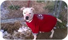 Boxer/American Pit Bull Terrier Mix Dog for adoption in Golden, Colorado - Stella