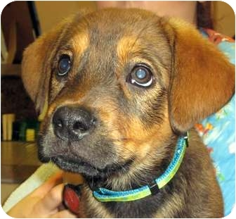 German Shepherd Dog/Rottweiler Mix Puppy for adoption in Morehead City, North Carolina - Bella