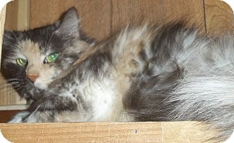 Maine Coon Cat for adoption in Witter, Arkansas - Paisley (pure-bred Maine-coon)