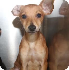 Miniature Pinscher/Chihuahua Mix Dog for adoption in Philadelphia, Pennsylvania - Achilles