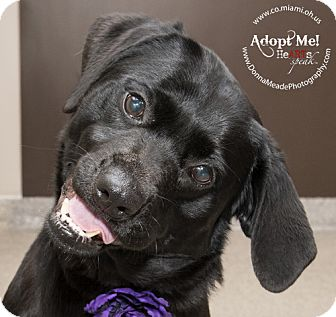 Labrador Retriever Mix Dog for adoption in Troy, Ohio - Darla