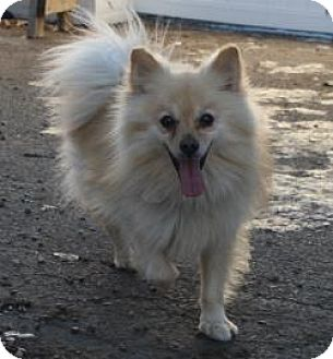 Pomeranian Mix Dog for adoption in West Des Moines, Iowa - Dunn