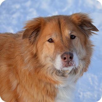 Golden Retriever/Husky Mix Dog for adoption in South Haven, Michigan - Molly