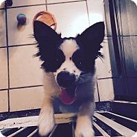 Adopt A Pet :: Steve - Mt Gretna, PA