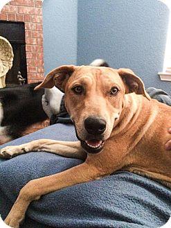 Labrador Retriever/Shiba Inu Mix Dog for adoption in San Antonio, Texas - Elaine