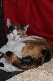 Calico Cat for adoption in Jackson, Mississippi - Simone