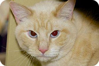 Domestic Shorthair Cat for adoption in Salem, Massachusetts - Blizzard