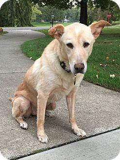 Labrador Retriever/Golden Retriever Mix Dog for adoption in Sharon Center, Ohio - Honey