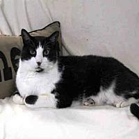 Domestic Mediumhair Cat for adoption in Hampton Bays, New York - TUFFY