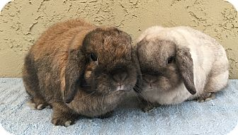 Lop, Holland for adoption in Bonita, California - Sam & George