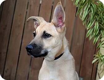 Shepherd (Unknown Type) Mix Puppy for adoption in Los Angeles, California - Armani