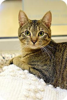 Domestic Shorthair Cat for adoption in Aiken, South Carolina - Shiba