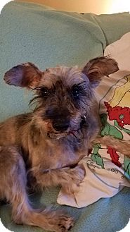 Schnauzer (Miniature) Mix Dog for adoption in Millersville, Maryland - Sammy