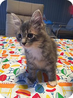 Domestic Longhair Kitten for adoption in Geneseo, Illinois - Meggie