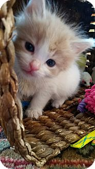 Domestic Mediumhair Kitten for adoption in Turnersville, New Jersey - Chewy
