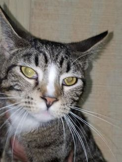 Domestic Shorthair/Domestic Shorthair Mix Cat for adoption in Amory, Mississippi - Boots