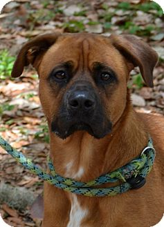 Boxer Mix Dog for adoption in Palm City, Florida - Rusty