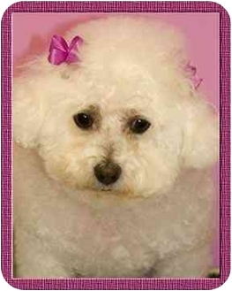 Bichon Frise Dog for adoption in North Palm Beach, Florida - Holly