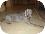 Weimaraner Dog for adoption in Eustis, Florida - Lilly  **ADOPTED**