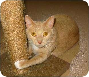 Domestic Shorthair Kitten for adoption in Charlotte, North Carolina - William