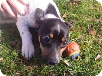 Basset Hound/Jack Russell Terrier Mix Puppy for adoption in Bel Air, Maryland - Bonny