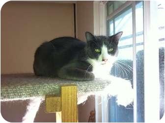 Domestic Shorthair Cat for adoption in Fountain Valley, California - Ninja