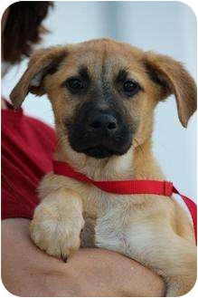 Labrador Retriever/Terrier (Unknown Type, Medium) Mix Puppy for adoption in Boynton Beach, Florida - Kalik
