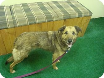 Sheltie, Shetland Sheepdog Mix Dog for adoption in Youngwood, Pennsylvania - Bella