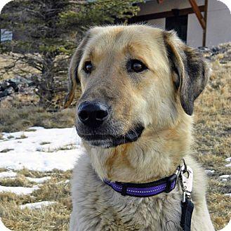 Anatolian Shepherd Mix Dog for adoption in Cheyenne, Wyoming - Vidil