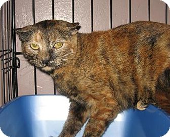 Domestic Shorthair Cat for adoption in North Haven, Connecticut - Umber