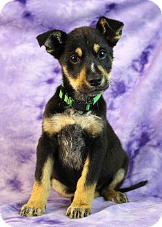 Shepherd (Unknown Type) Mix Puppy for adoption in Westminster, Colorado - Honeycrisp