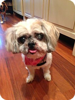 Shih Tzu Dog for adoption in Chicago, Illinois - CLAIRE