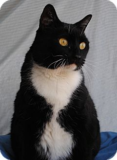 Domestic Shorthair Cat for adoption in Palmdale, California - Nabee