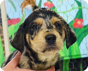 Catahoula Leopard Dog/Labrador Retriever Mix Puppy for adoption in Searcy, Arkansas - Martina