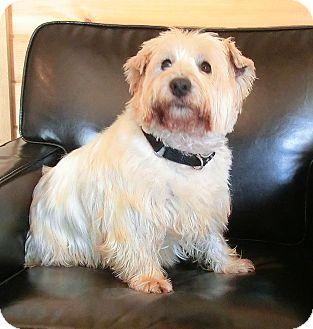 Westie, West Highland White Terrier Dog for adoption in GARRETT, Indiana - FRANKIE