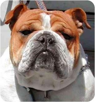 English Bulldog Dog for adoption in Rolling Hills Estates, California - Cowboy