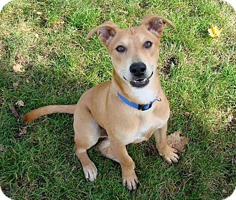 Labrador Retriever Mix Puppy for adoption in Salem, New Hampshire - PUPPY HOWELL