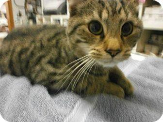 Domestic Shorthair Cat for adoption in Henderson, North Carolina - T-rex