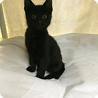 Adopt A Pet :: Wasabi - New York, NY