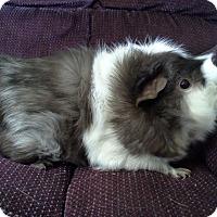 Adopt A Pet :: Gizmo - San Antonio, TX