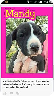 Dalmatian/Staffordshire Bull Terrier Mix Puppy for adoption in Mesa, Arizona - Mandy