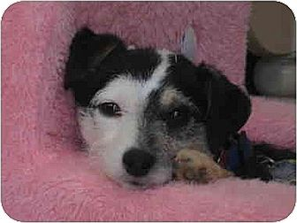 Chihuahua/Jack Russell Terrier Mix Dog for adoption in Portland, Maine - Picasso
