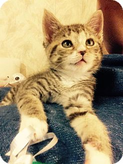 Domestic Shorthair Kitten for adoption in Covington, Kentucky - Neville