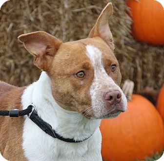 Staffordshire Bull Terrier/Australian Cattle Dog Mix Dog for adoption in Marietta, Ohio - Odin