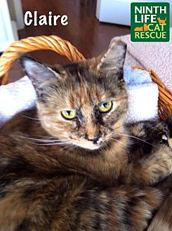Domestic Shorthair Cat for adoption in Oakville, Ontario - Claire