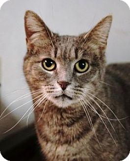 Domestic Shorthair Cat for adoption in Medford, Massachusetts - Fannie